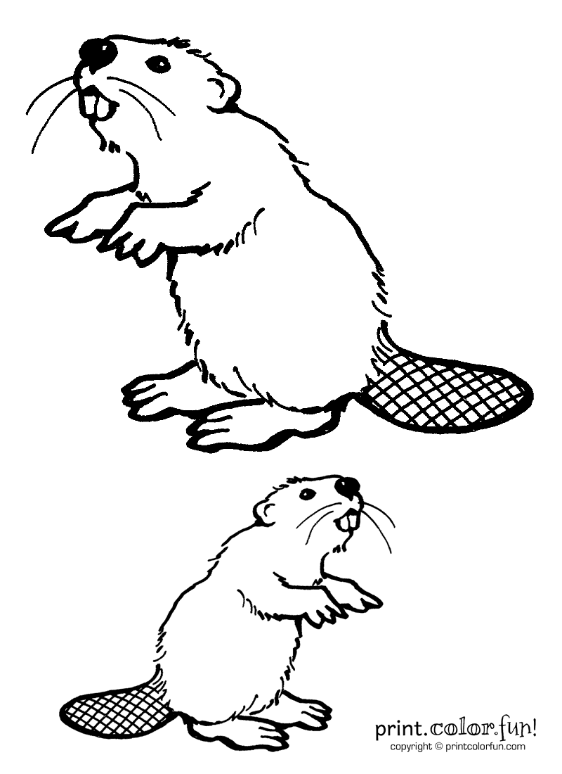 Two beavers coloring page Print Color Fun