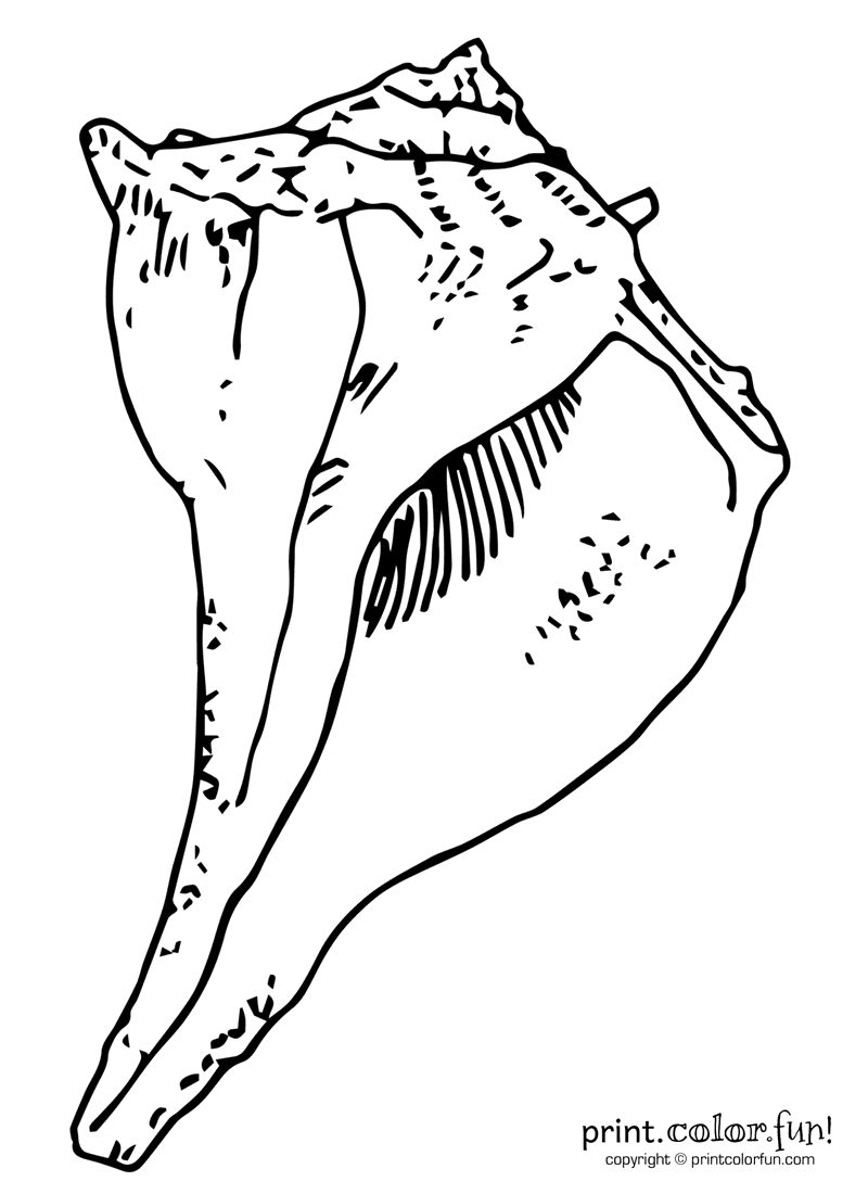 whelk seashell coloring page print color fun