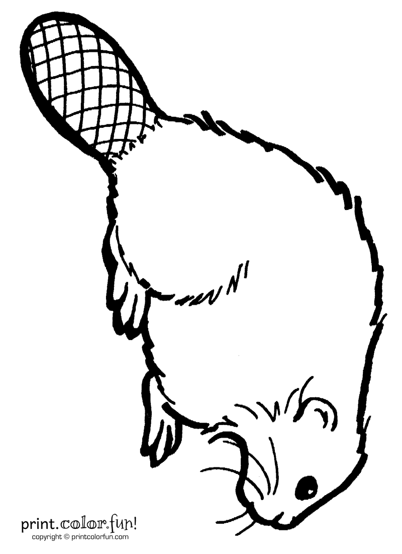 Beaver Coloring Page Print Color Fun