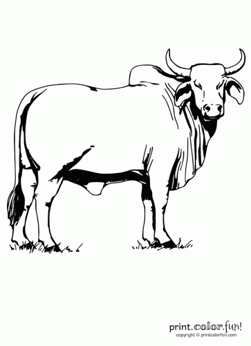 bull coloring pages Brahman bull coloring page   Print. Color. Fun! bull coloring pages