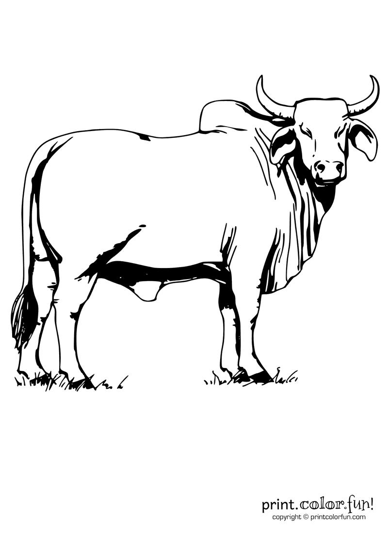 Brahman bull coloring page Print Color Fun