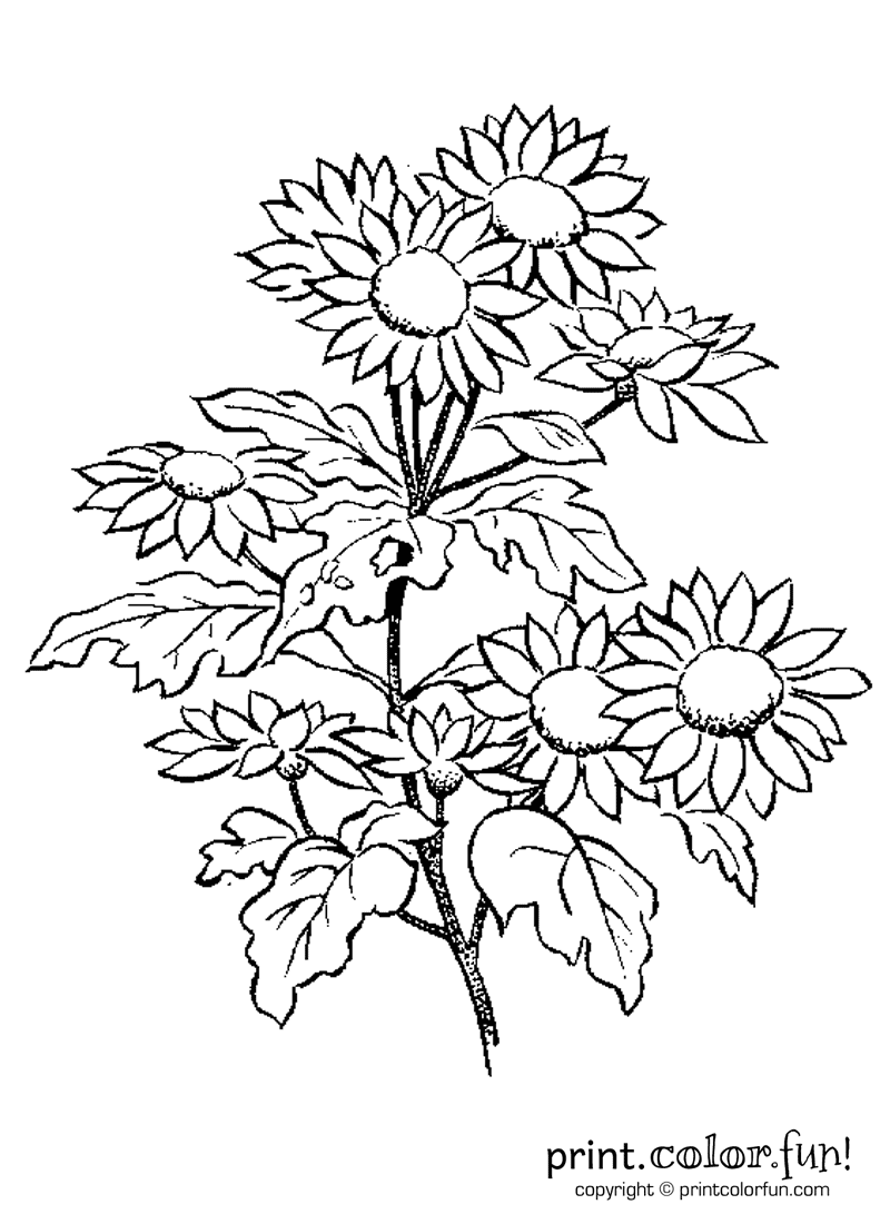Daisy flowers coloring page print color fun for Daisy coloring page