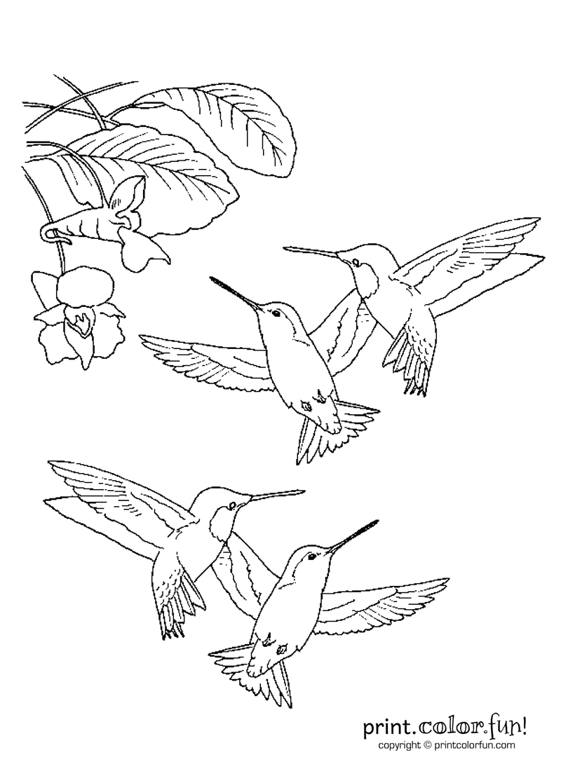 Hummingbirds coloring page Print