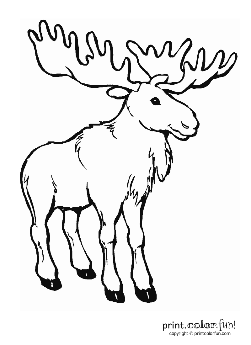 Moose coloring page print color fun for How to draw a moos