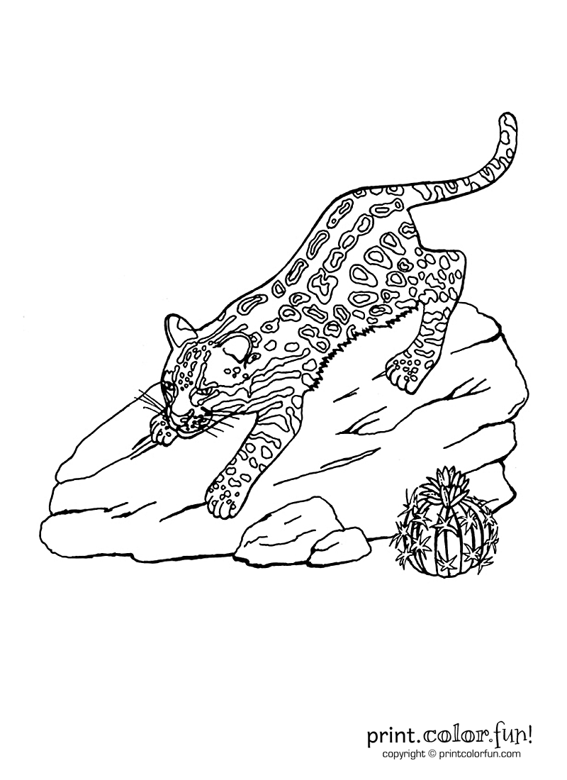 ocelot coloring page print color fun