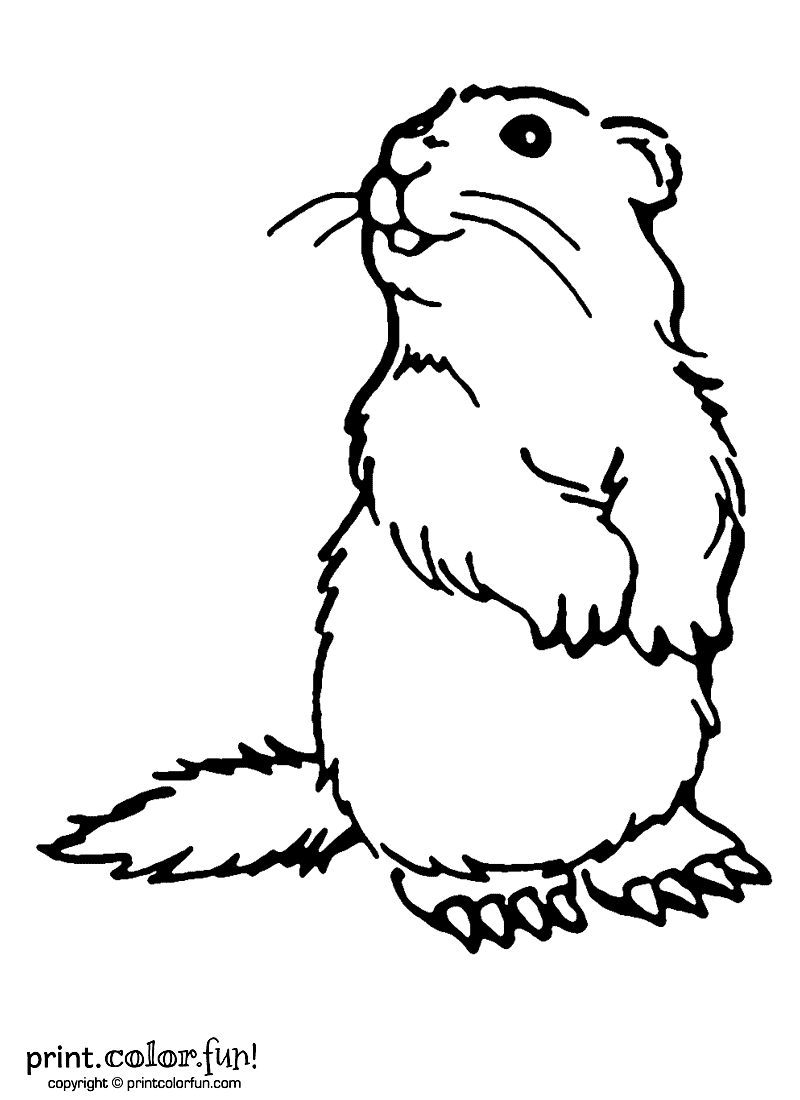 woodchuck coloring page print color